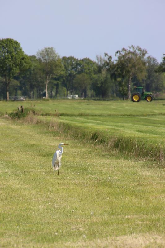 Witte reiger in weiland, Staphorst, Hooidijk