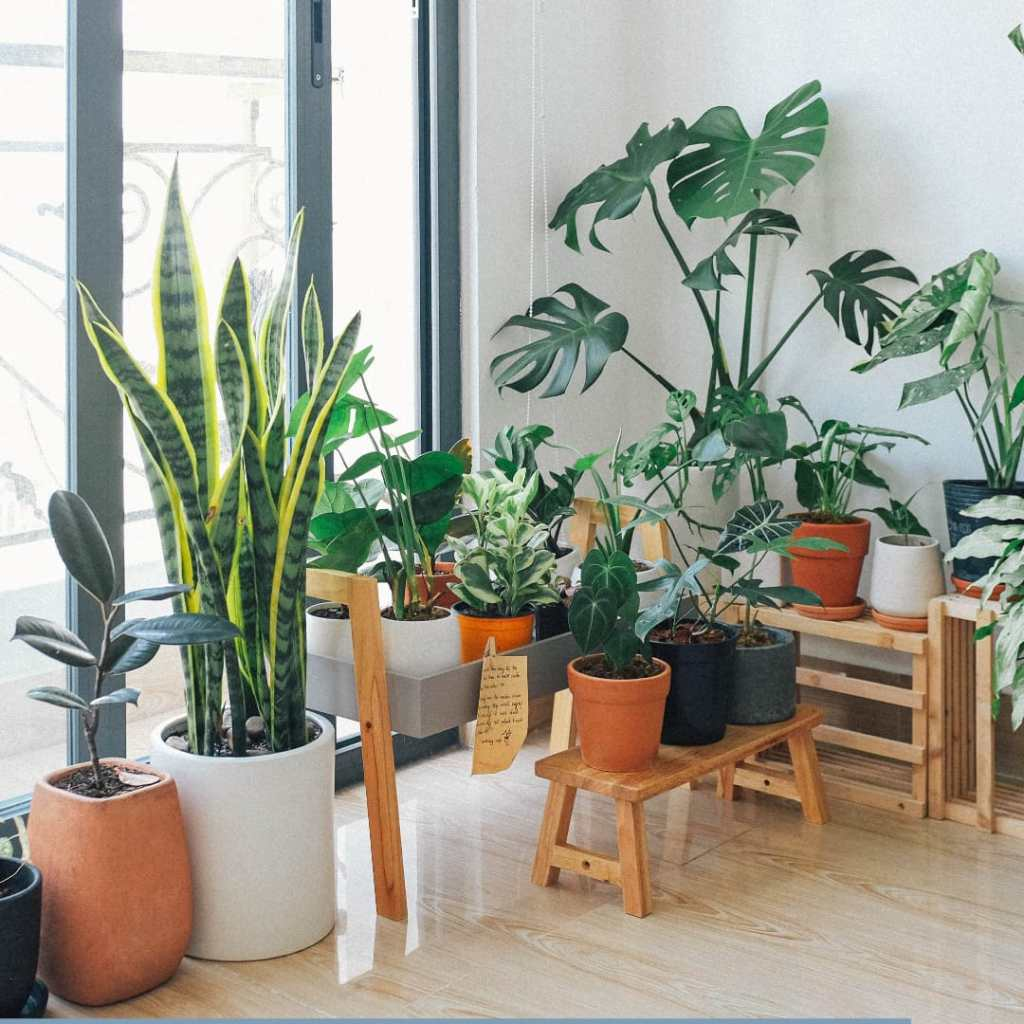 Indoor Plant For Bedrooms And Living Room For Air purification