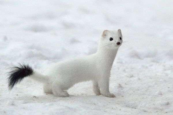 雪地裡出現白色妖精 「害羞探頭」把大家萌壞了 - 爆新聞