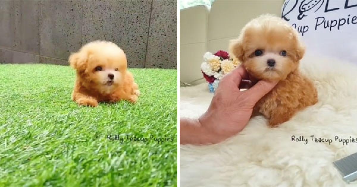 小狗狗可愛過頭被懷疑是假的 網萌笑:牠是會動的狗娃娃吧? - 爆新聞