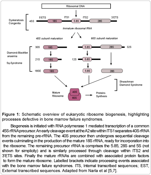 small resolution of bone marrow research schematic overview eukaryotic ribosome biogenesis