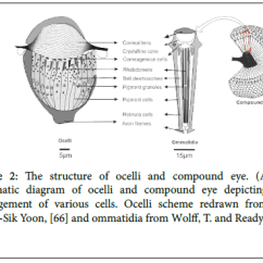 Dragonflies Eye Diagram Gy6 50cc Scooter Wiring Understanding The Structural And Developmental Aspect Of Simple Cell Signaling Ocelli Scheme Redrawn