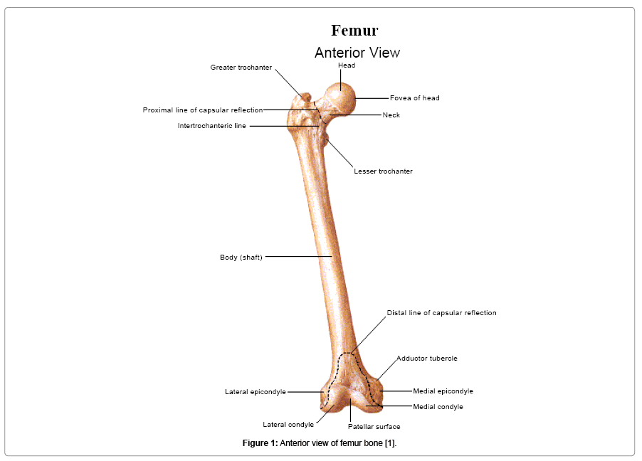 osteoporosis-and-physical-activity-Anterior-view-femur-bone