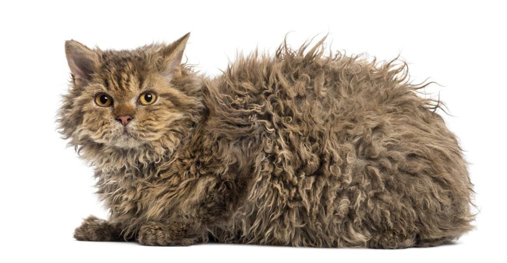 Black Himalayan Persian Cat