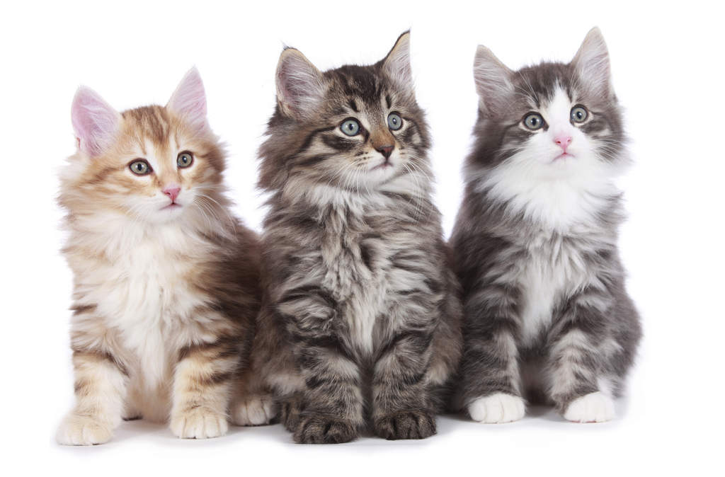 norwegian forest cat cats