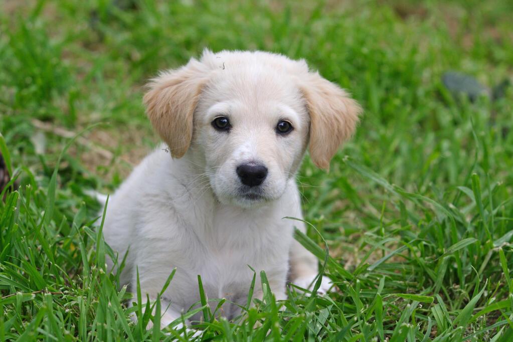 Maremma Sheepdog Dogs Breed Information Omlet