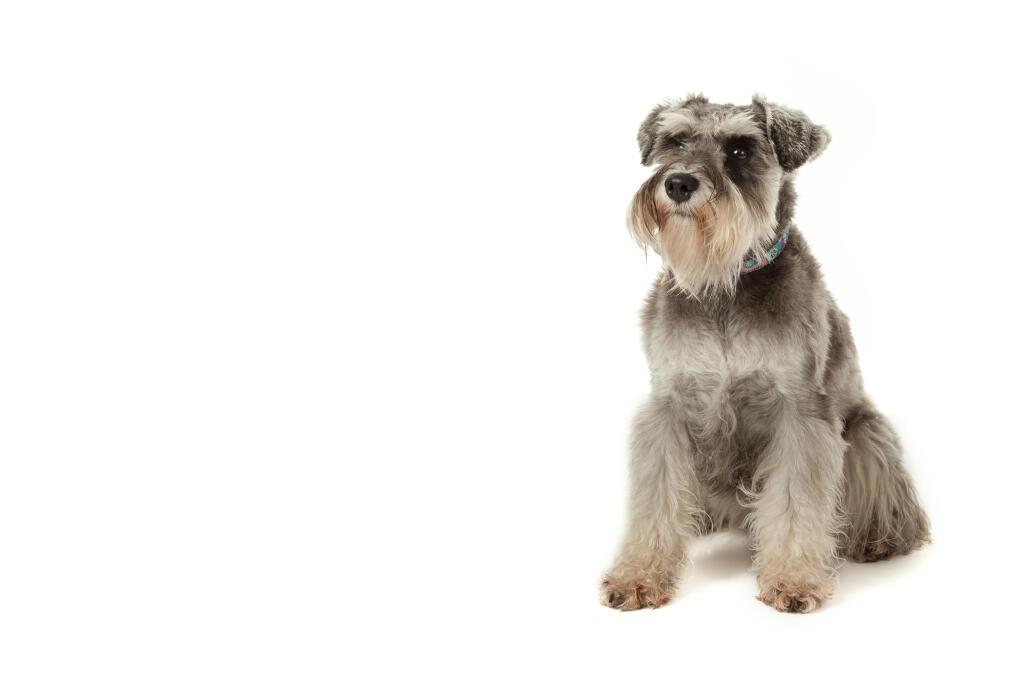 Miniature Schnauzer Dogs Breed Information Omlet