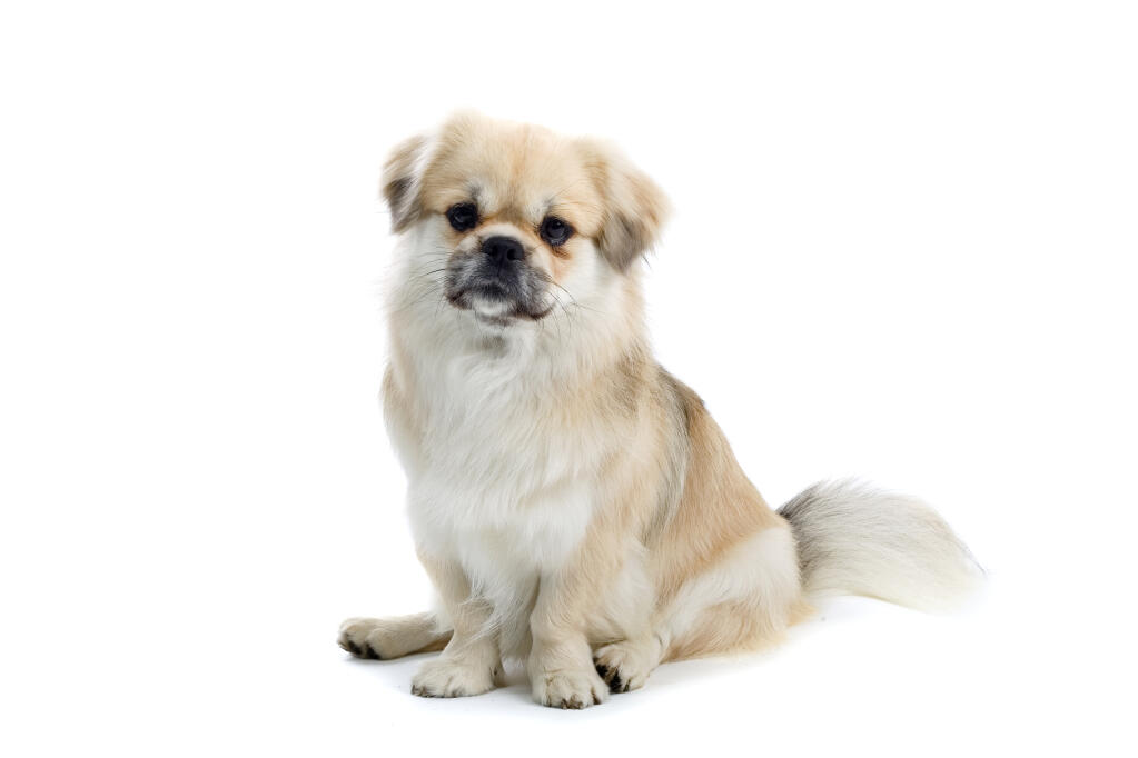 Tibetan Spaniel Dogs Breed Information Omlet