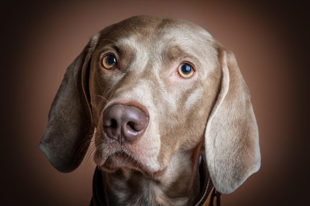 Weimaraner Dogs Breed Information Omlet