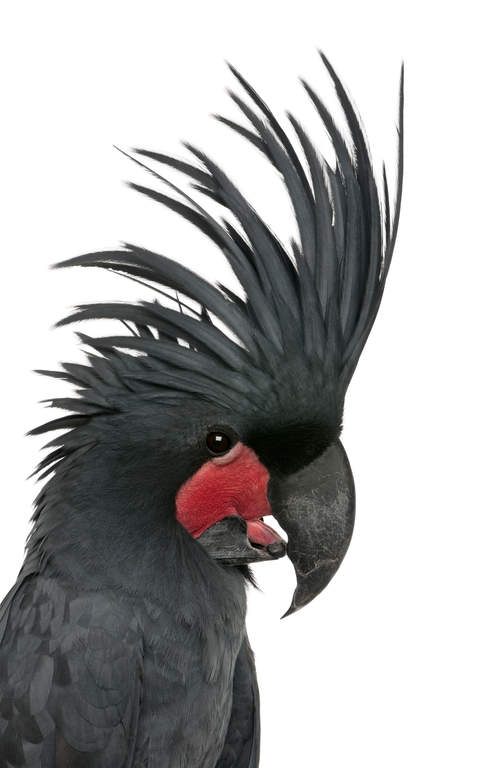 Palm Cockatoo For Sale Parrots Breed Information Omlet