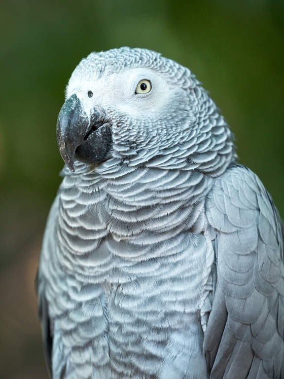 African Grey Parrot  Parrots  Breed Information  Omlet