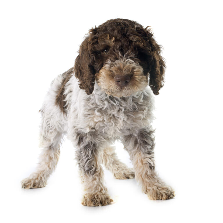 Portuguese Water Dog  Dogs  Breed Information  Omlet