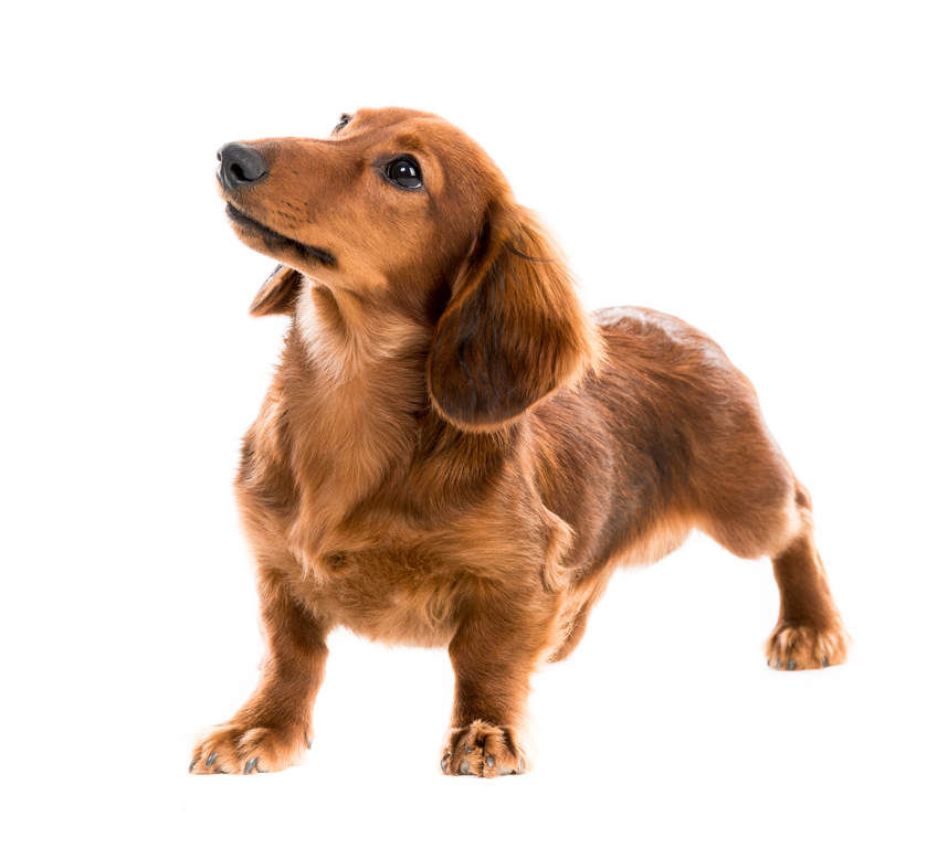 Dachshund Dogs Breed Information Omlet