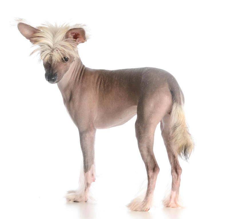 Chinese Crested Dogs Breed Information Omlet