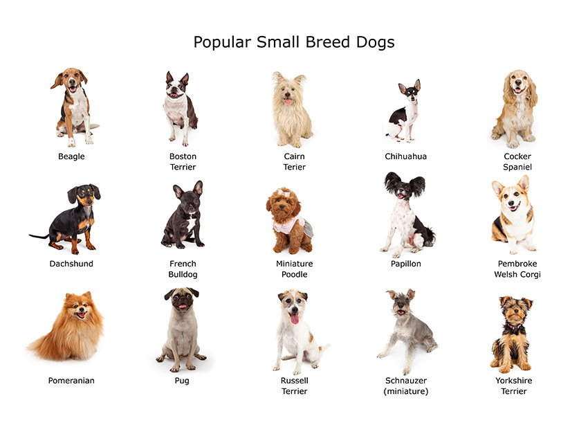 Small Dog Breeds Choosing The Right Dog For You Dogs Guide Omlet Us