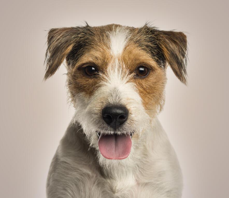 Parson Russell Terrier Hunde Informationen Zu Den