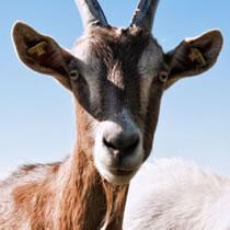 A tragic goat