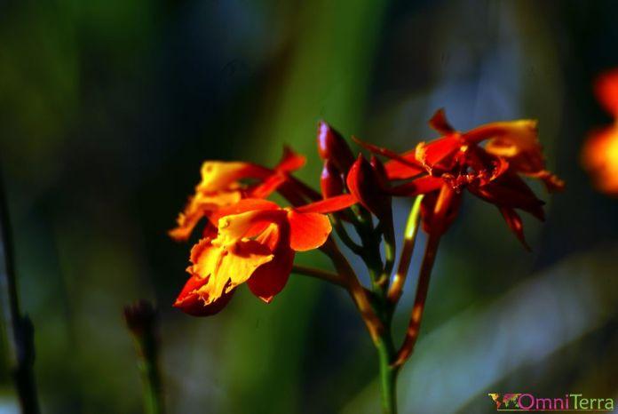 Costa Rica - Monteverde - Orchidée