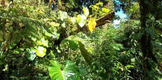 Costa Rica - Tortuguero - Végétation