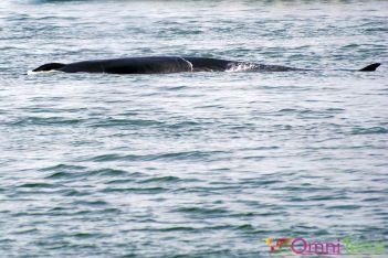 Québec-Observation baleines - Baleines 1