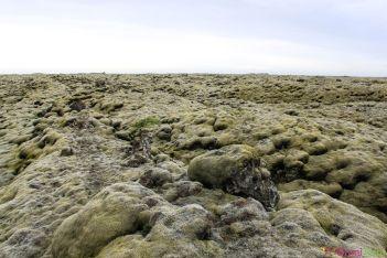 Islande - Route de Vik a Hofn - Lichen
