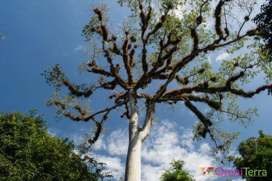 Guatemala - Tikal- arbre