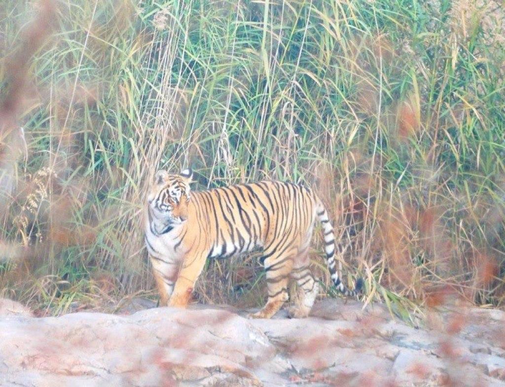Bengal Tiger in Rajasthan