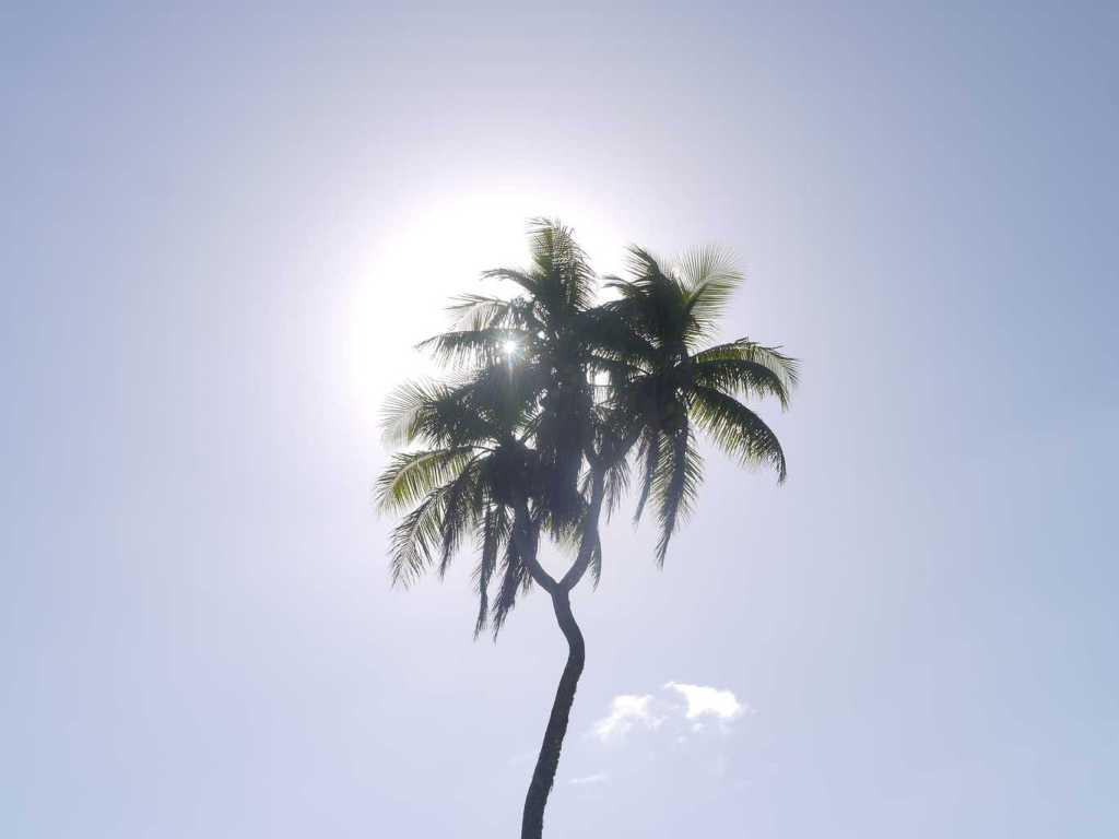 Three-headed palm tree in Nuku'alofa