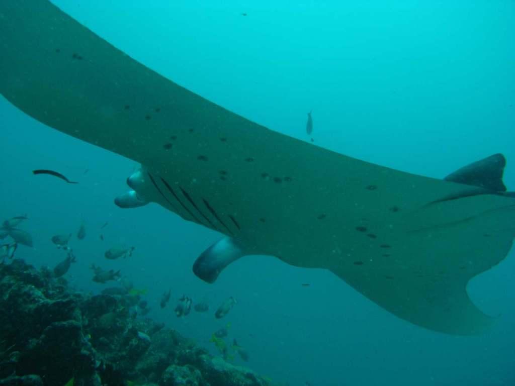diving with mantas