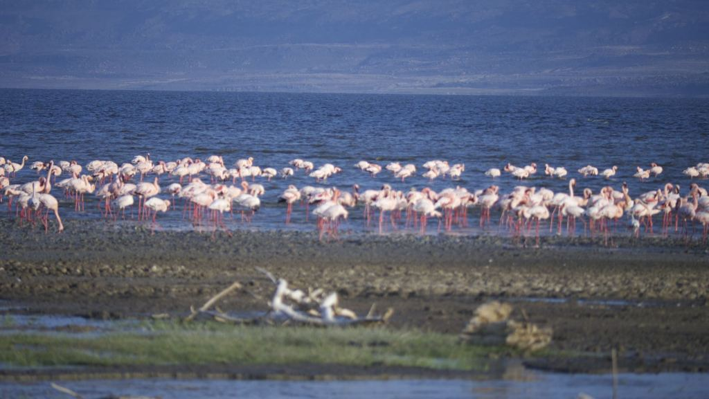 Flamingos in Lake Abbe