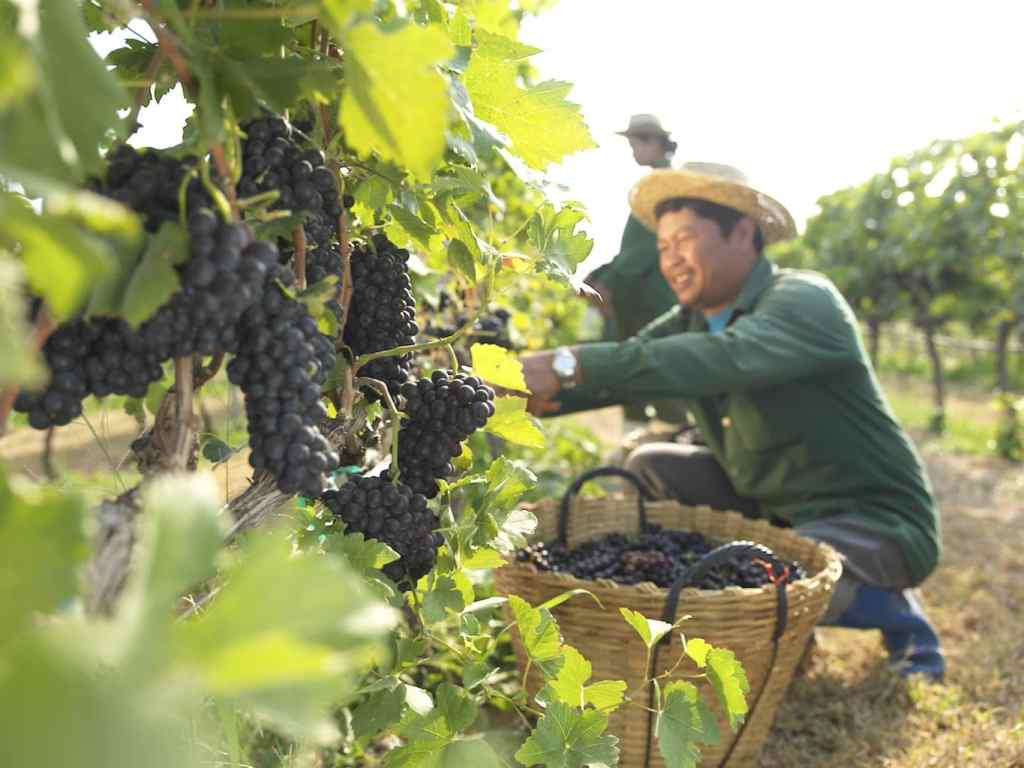 Picking grapes in Thailand