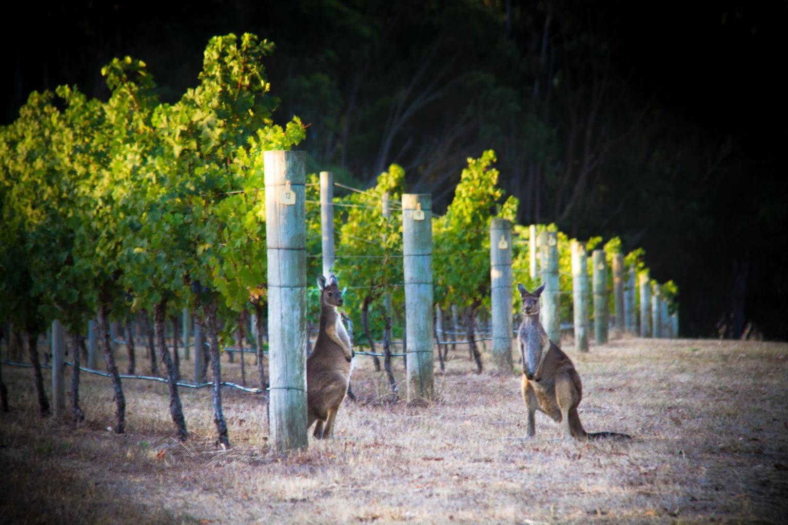 Kangaroos at Cape Mentelle