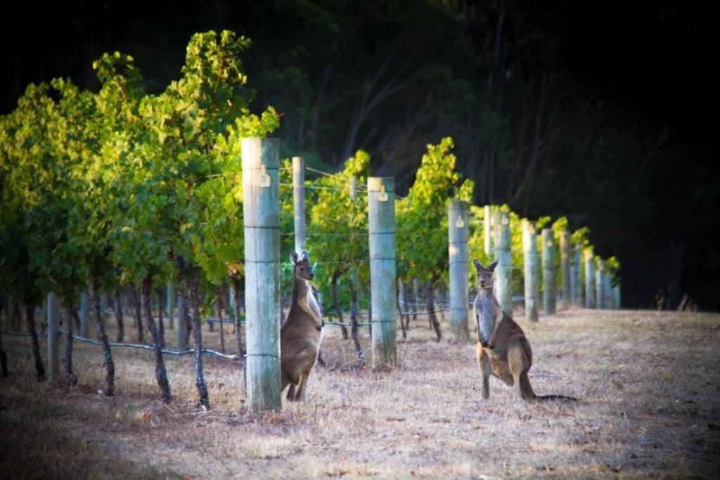 Kangaroos at Cape Mentelle