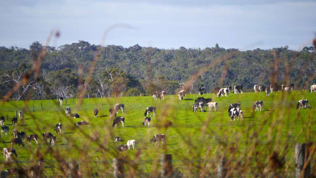 Margaret River cows