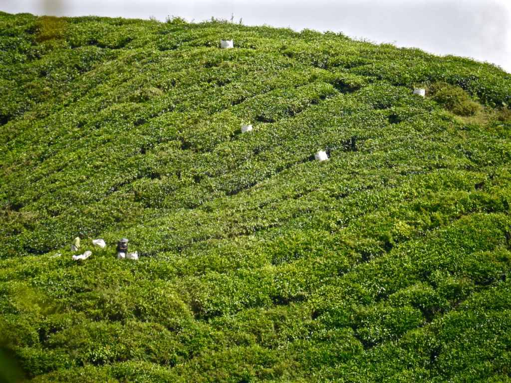Tea harvesting Cameron Highlands