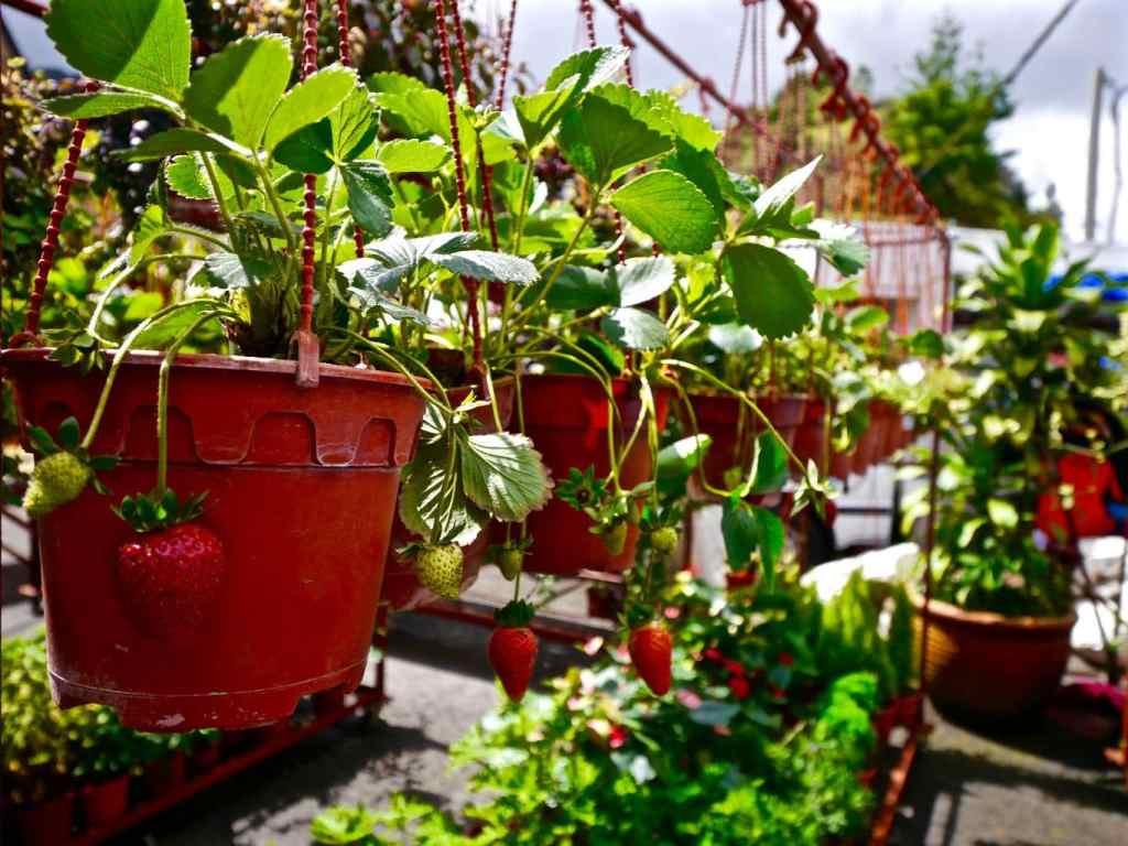 Picking strawberries Cameron Highlands