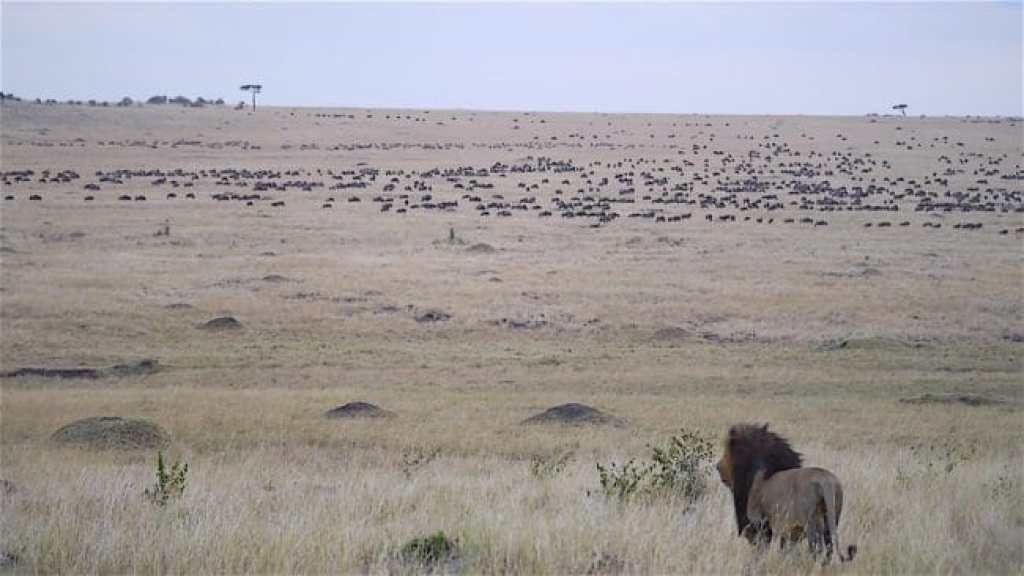 Lion watching over a sea of wildebeest