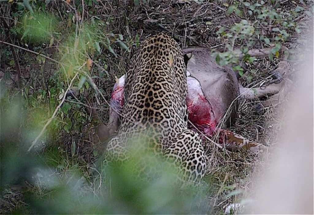 Leopard eating his kill
