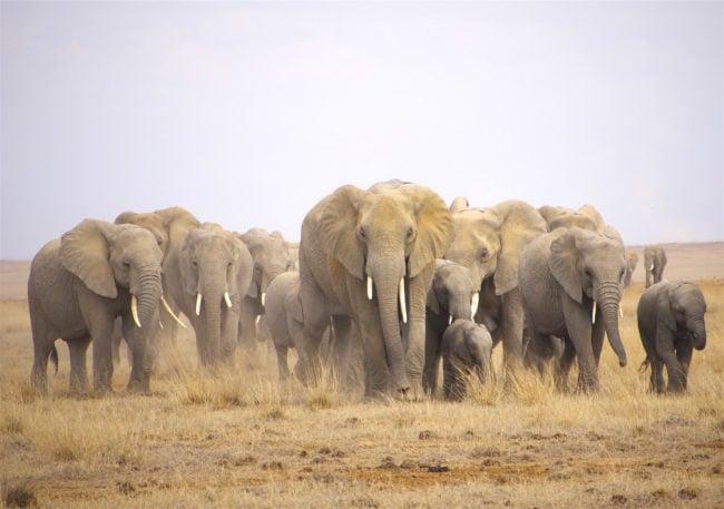"""Elephant herd in Amboseli"""