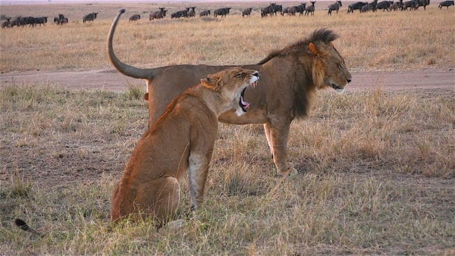 """Sunrise lions"""