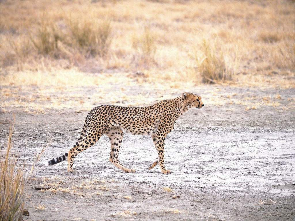 Cheetah in Amboseli