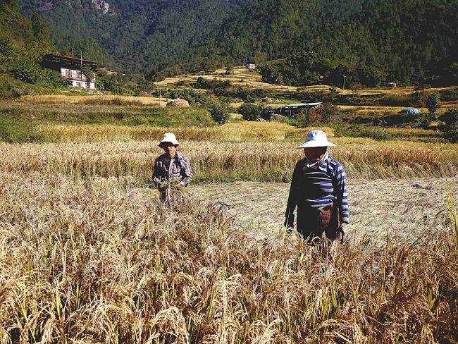 """""""Farmers in rice fields in Punakha"""""""