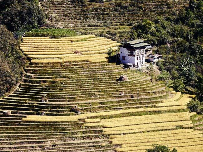 """'Rice fields Punakha"""""""