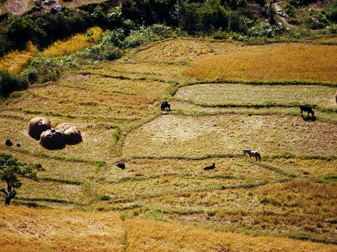Rice fields Punakha