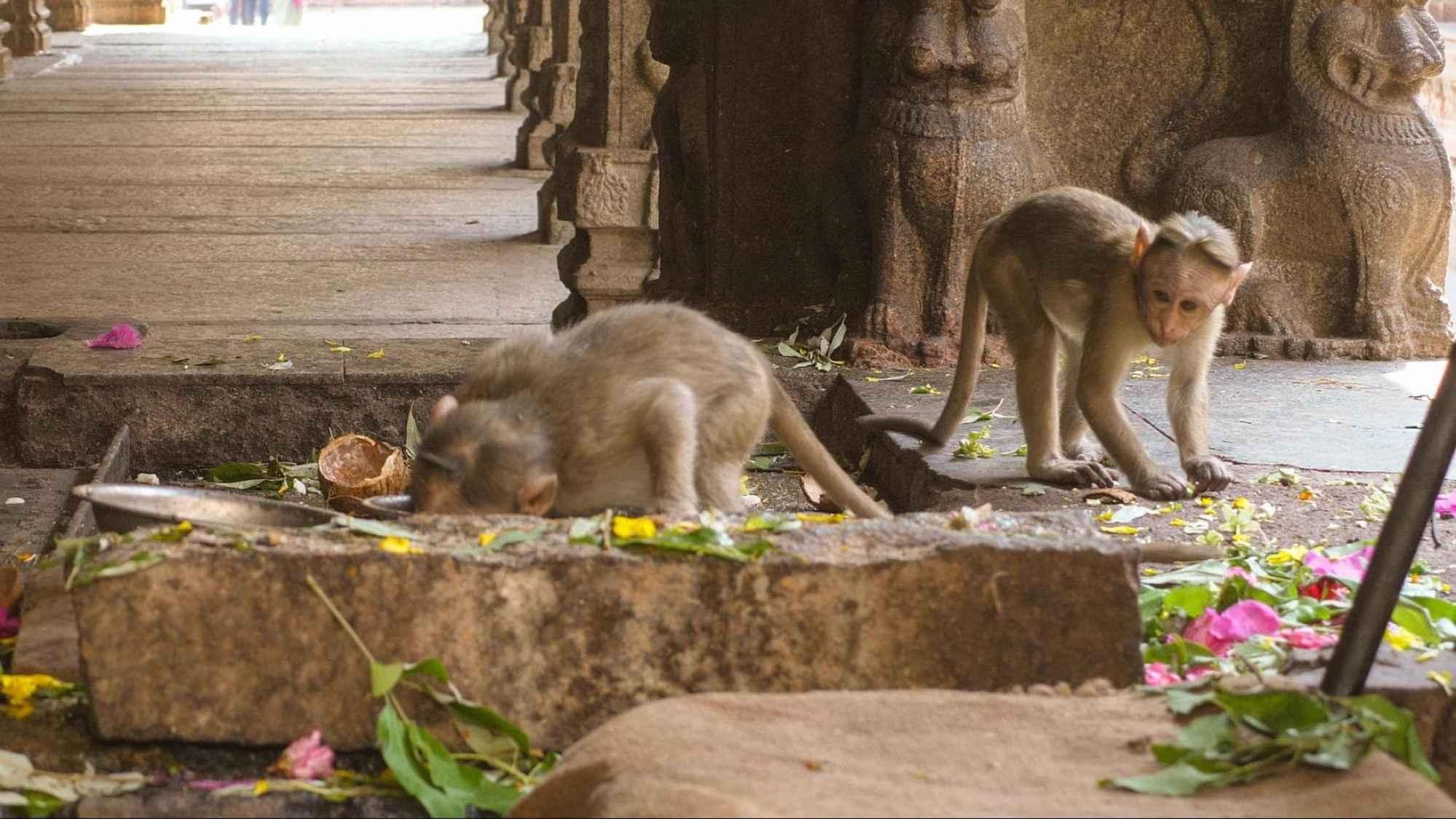 Very smart monkeys at Hampi