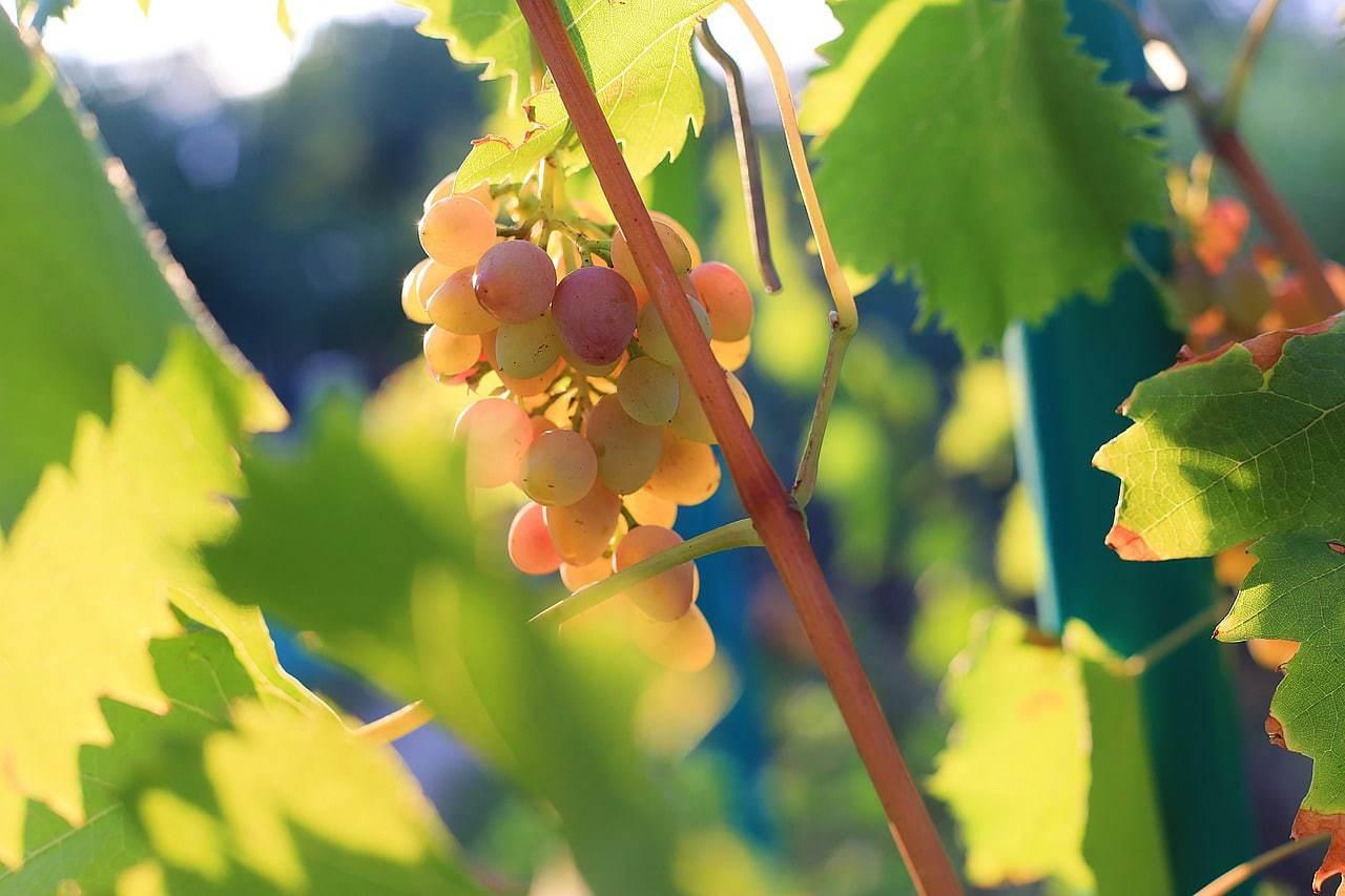 Nandi Hills grapevines