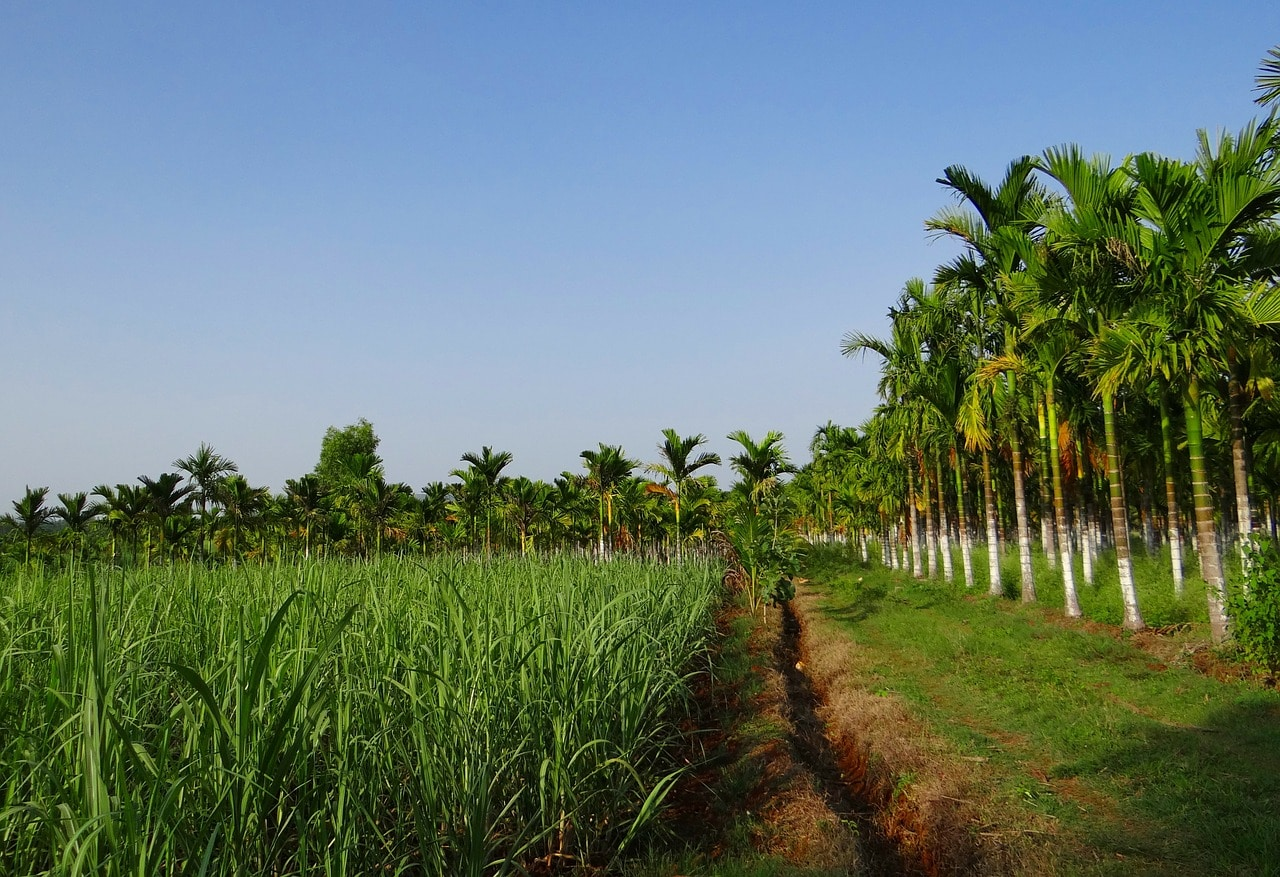 Sugar Cane fields at Chalong bay Distillery