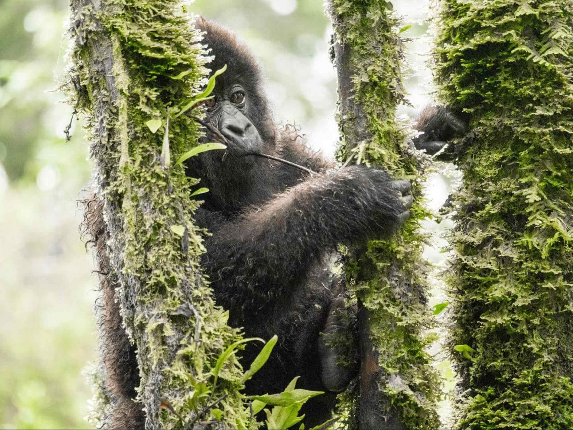 A young mountain gorilla playing in the trees