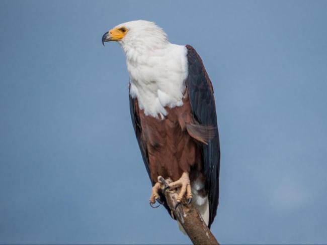 Eagle at Akagera National park