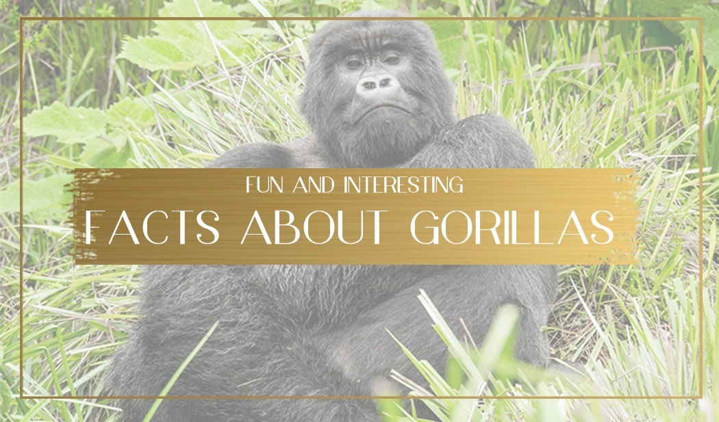 Facts about gorillas main